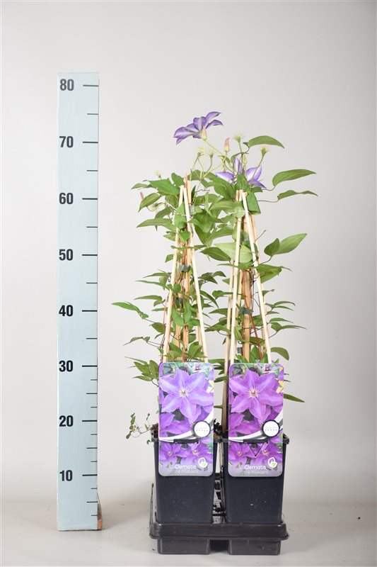 Clematis 'The President'-50-60 C2 3S60