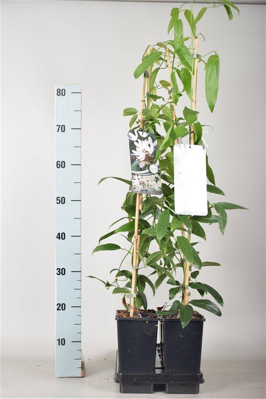 Clematis armandii-80-100 C2