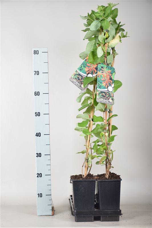 Lonicera brownii 'Dropmore Scarlet'-80-100 C2