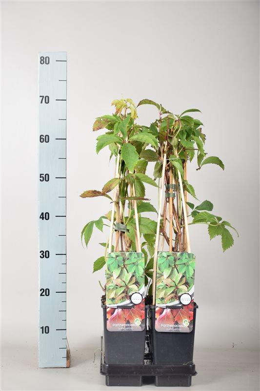 Parthenocissus quinquefolia-50-60 C2 3S60