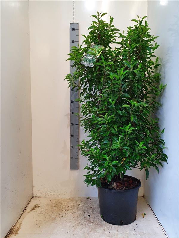 Prunus lusitanica 'Angustifolia'-125-150 C15