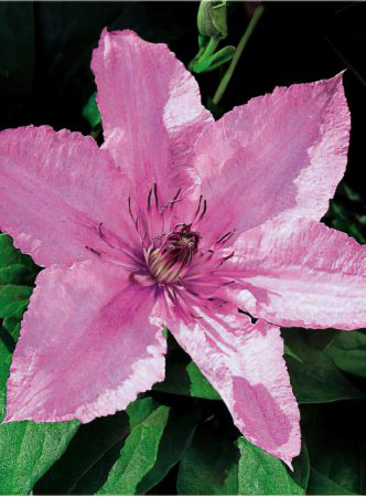 Clematis 3-large-scale-4_00x
