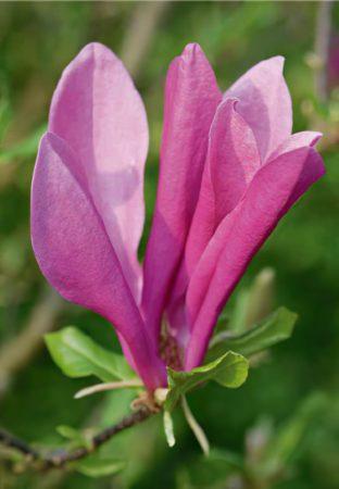 Magnolia-large-scale-4_00x