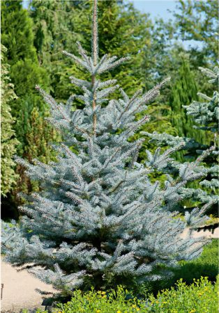Picea 2-large-scale-4_00x