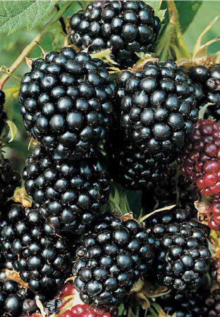 Rubus-large-scale-4_00x