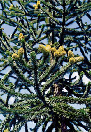araucaria-large-scale-4_00x