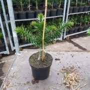 Araucaria araucana-25-30 C3