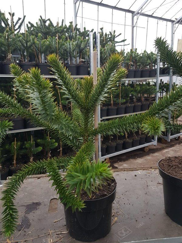 Araucaria araucana-50-60 C7.5