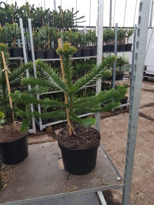Araucaria araucana-50-60 C10