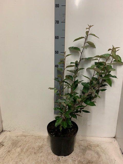 Elaeagnus ebbingei-60-80 C5