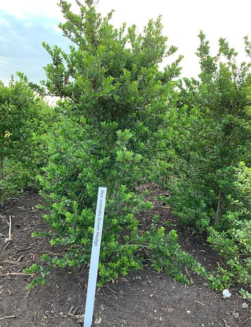 Ilex crenata 'Green Hedge'-125-150 KL