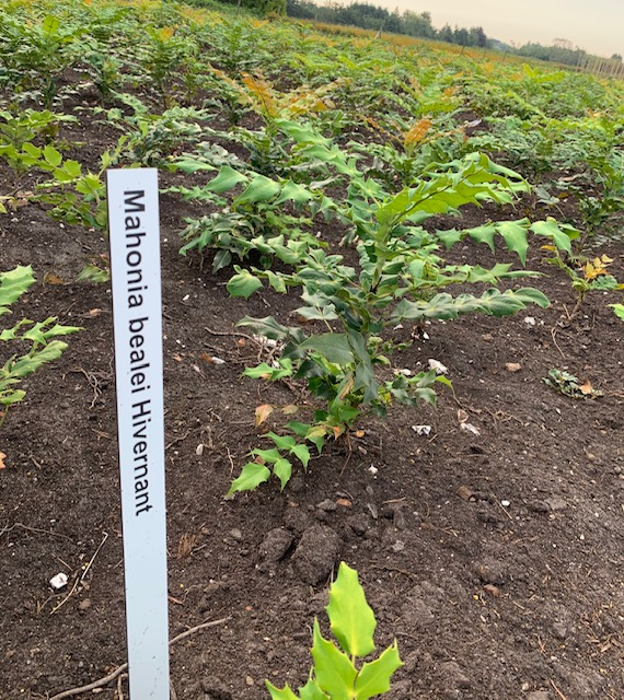 Mahonia japonica 'Hivernant'-50-60 KL