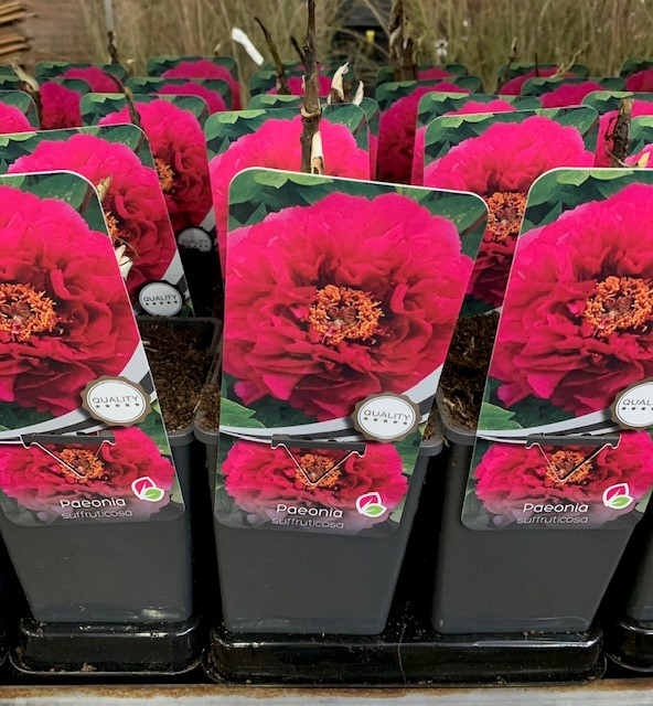 Paeonia suffruticosa mix-GM C2 1T Chinees