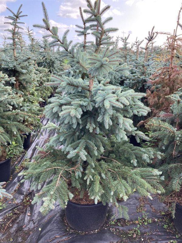 Picea pungens 'Erich Frahm'-200-225 C65