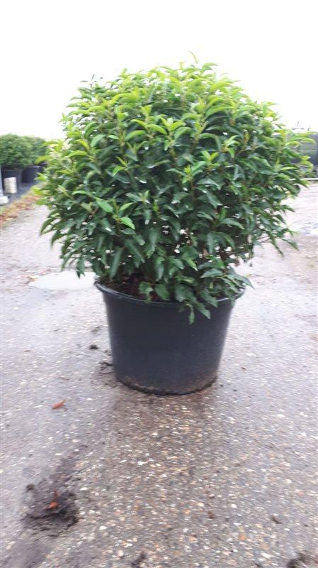 Prunus lusitanica 'Angustifolia'-90 C65 bol