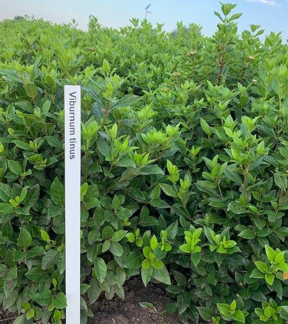 Viburnum tinus-60-80 C20