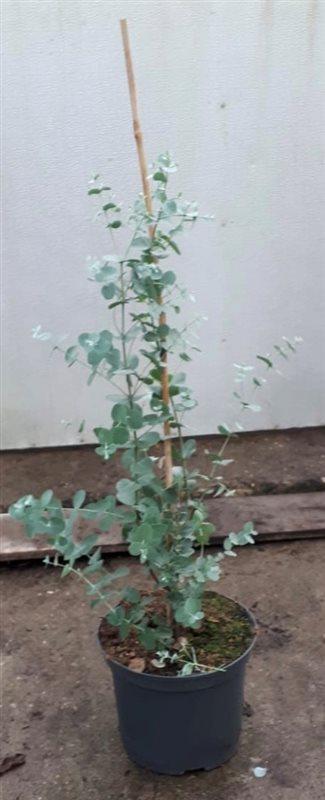Eucalyptus gunnii-60-80 C5 STR