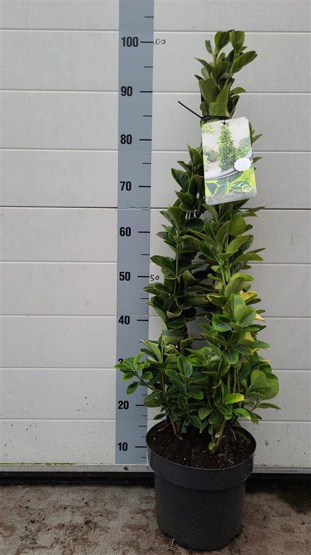 Euonymus jap. 'Aureomarginatus'-80-100 C5 PIR