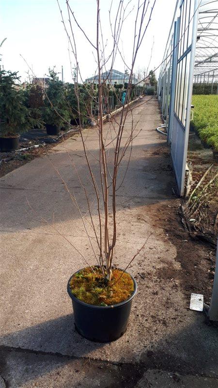 Betula utilis 'Doorenbos'-200-250 C35