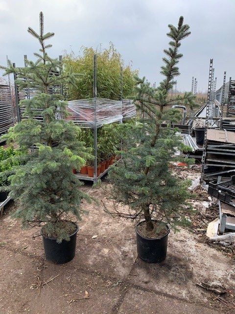 Picea pungens 'Blue Diamond'-125-150 C15
