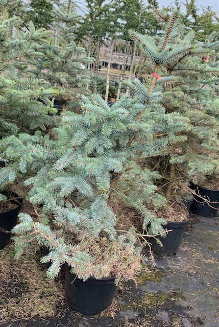 Picea pungens 'Blue Diamond'-80-100 C12