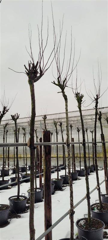Prunus cer. 'Nigra'-18-20HO CONT