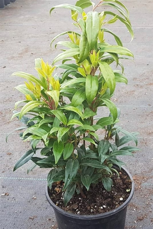 Sarcococca hookeriana Winter Gem-25-30 C3
