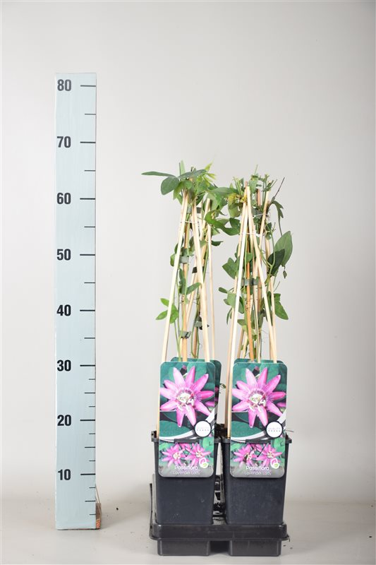 Passiflora 'Lavender Lady'-50-60 C2 3S60