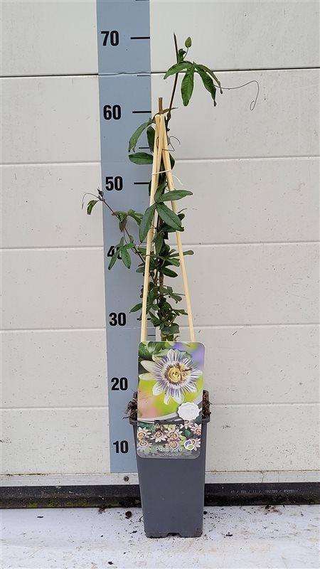 Passiflora caerulea-50-60 C2 3S60