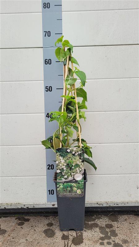 Hydrangea anomala petiolaris-50-60 C2 3S60