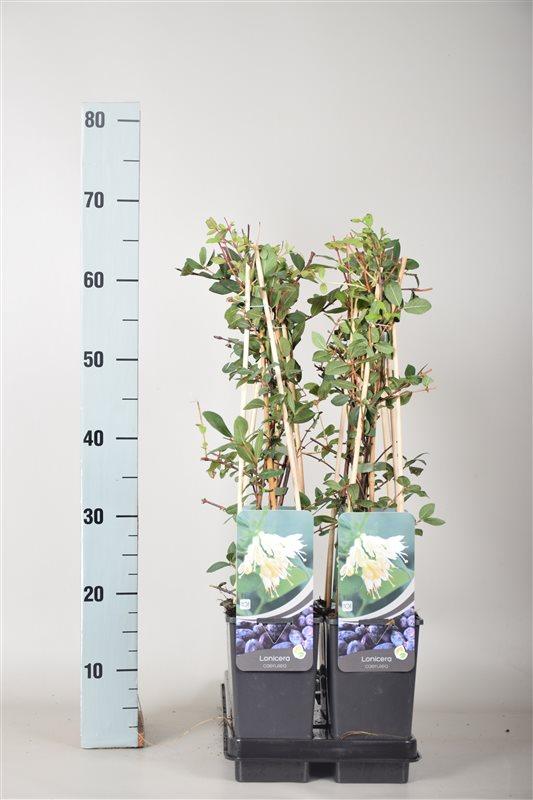 Lonicera caerulea-50-60 C2 3S60