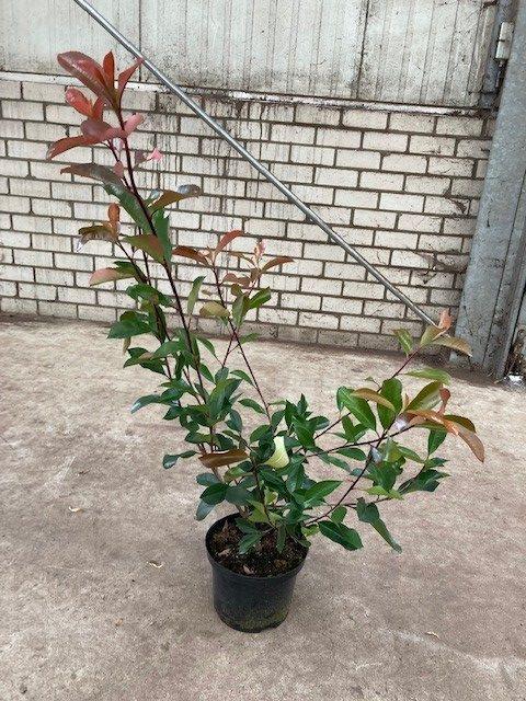 Photinia fraseri 'Red Robin'-60-80 C5