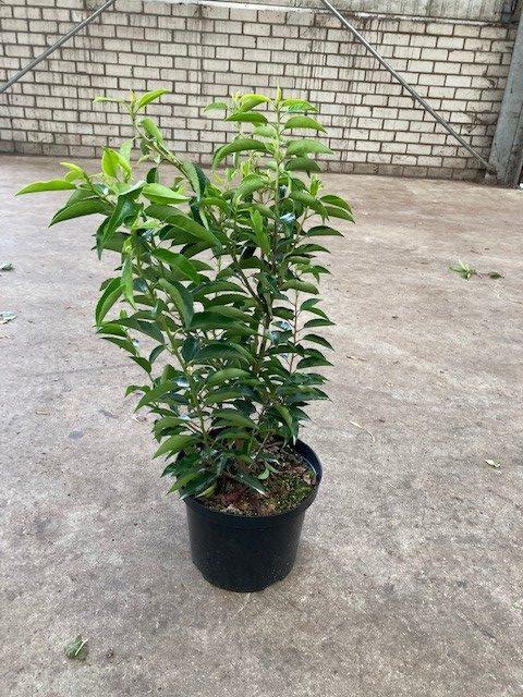 Prunus lusitanica 'Angustifolia'-40-60 C5