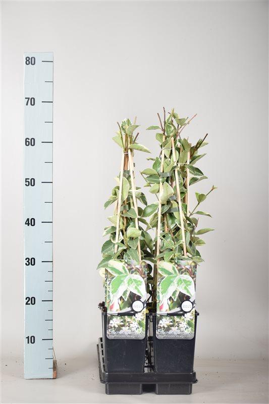Trachelospermum j. 'Variegatum'-50-60 C2 3S60
